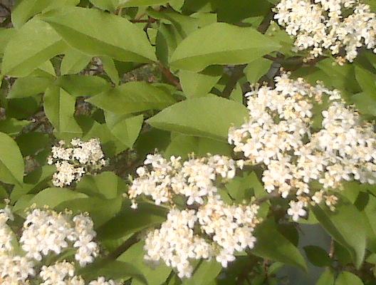 Northern Virginia flowering tree